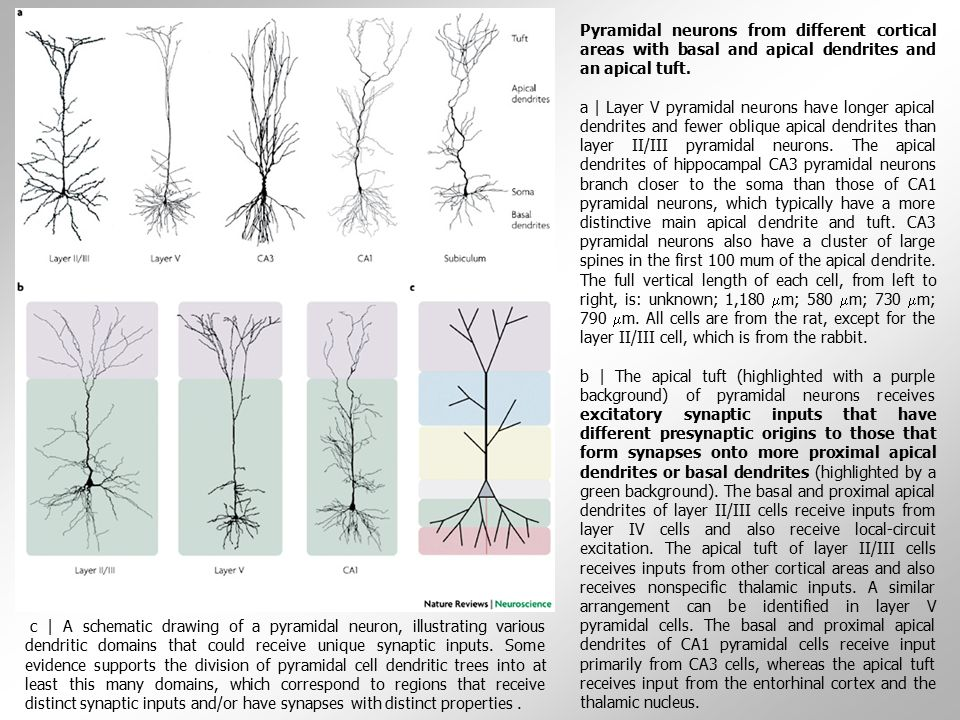 Pyramidal neurons from different cortical areas with basal and apical dendrites and an apical tuft.