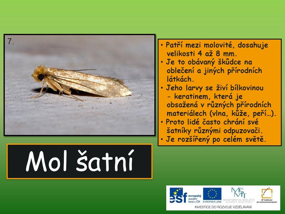 7. Patří mezi molovité, dosahuje velikosti 4 až 8 mm. Je to obávaný škůdce na oblečení a jiných přírodních látkách.