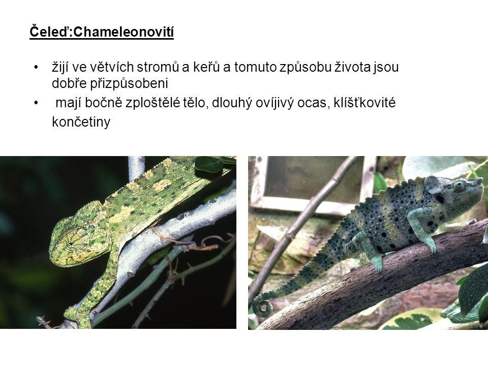 Čeleď:Chameleonovití
