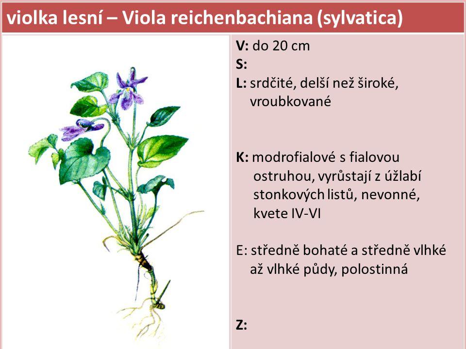 violka lesní – Viola reichenbachiana (sylvatica)