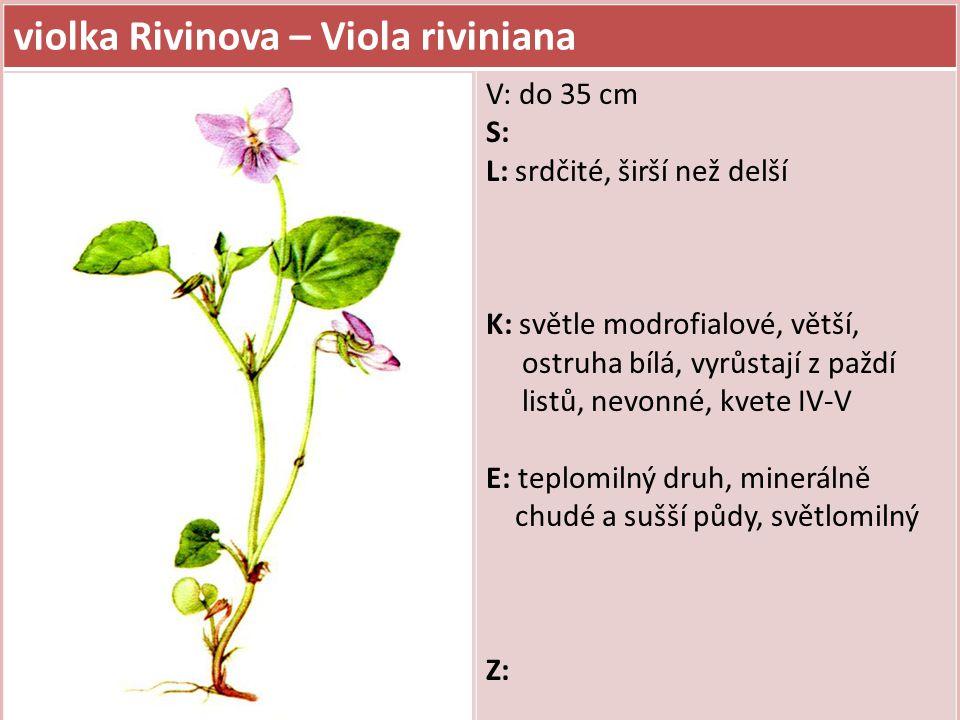 violka Rivinova – Viola riviniana