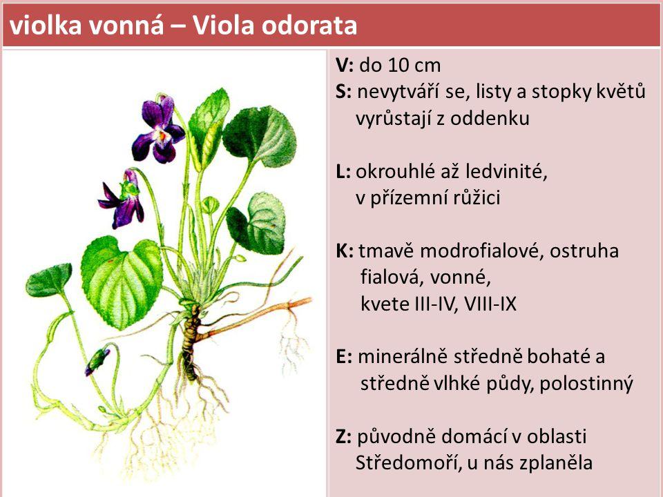 violka vonná – Viola odorata