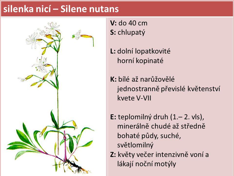 silenka nicí – Silene nutans