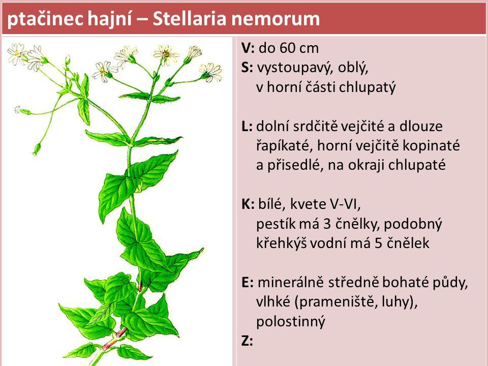 ptačinec hajní – Stellaria nemorum
