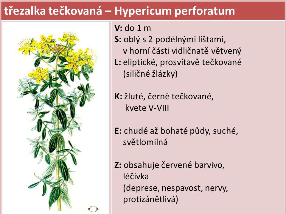 třezalka tečkovaná – Hypericum perforatum