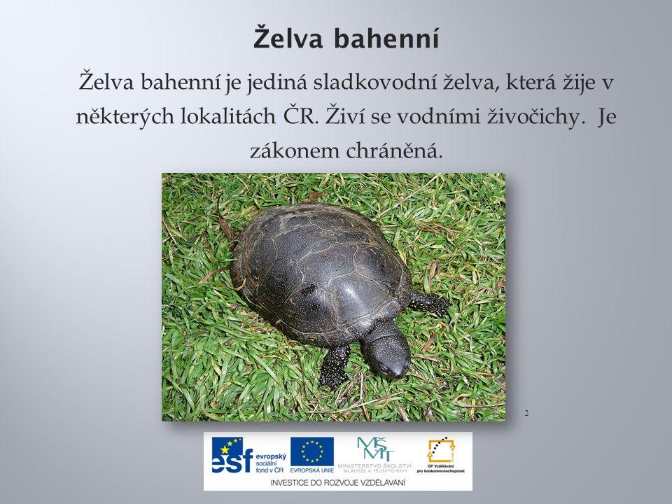 Želva bahenní Želva bahenní je jediná sladkovodní želva, která žije v některých lokalitách ČR. Živí se vodními živočichy. Je zákonem chráněná.