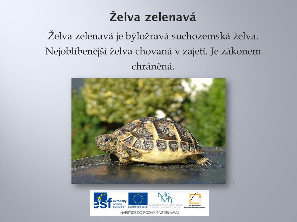 Želva zelenavá Želva zelenavá je býložravá suchozemská želva. Nejoblíbenější želva chovaná v zajetí. Je zákonem chráněná.