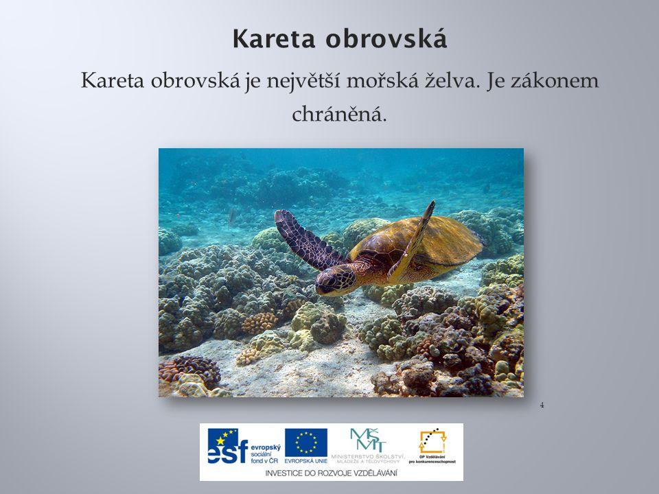 Kareta obrovská je největší mořská želva. Je zákonem chráněná.