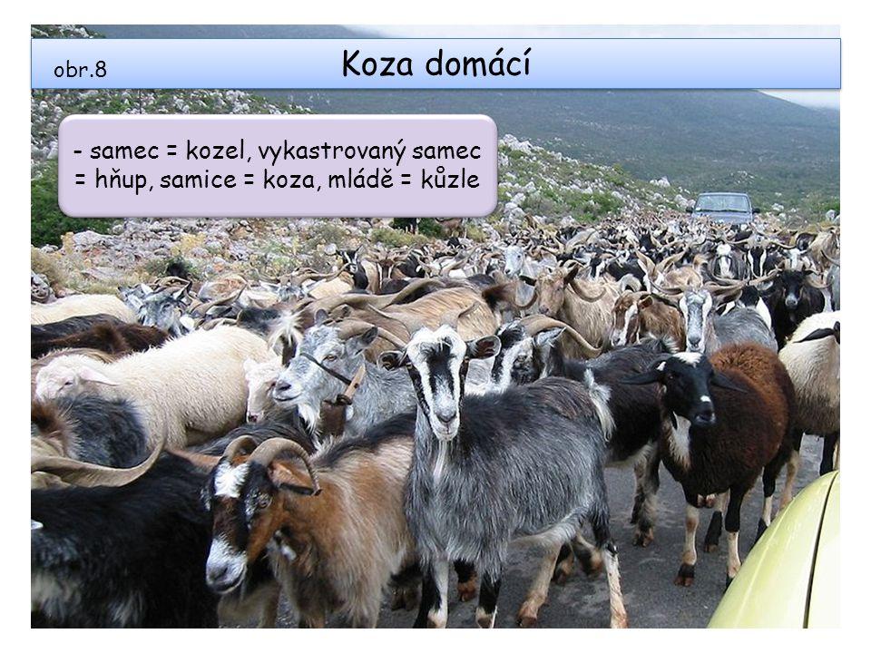 Koza domácí obr.8 - samec = kozel, vykastrovaný samec = hňup, samice = koza, mládě = kůzle