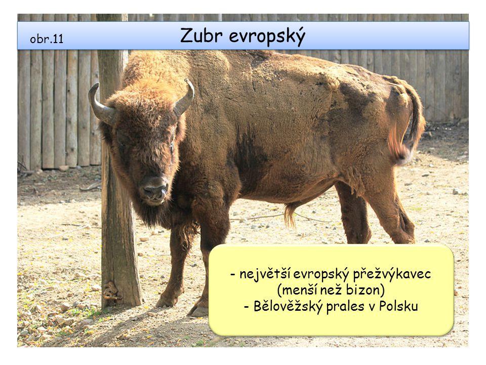 Zubr evropský - největší evropský přežvýkavec (menší než bizon)