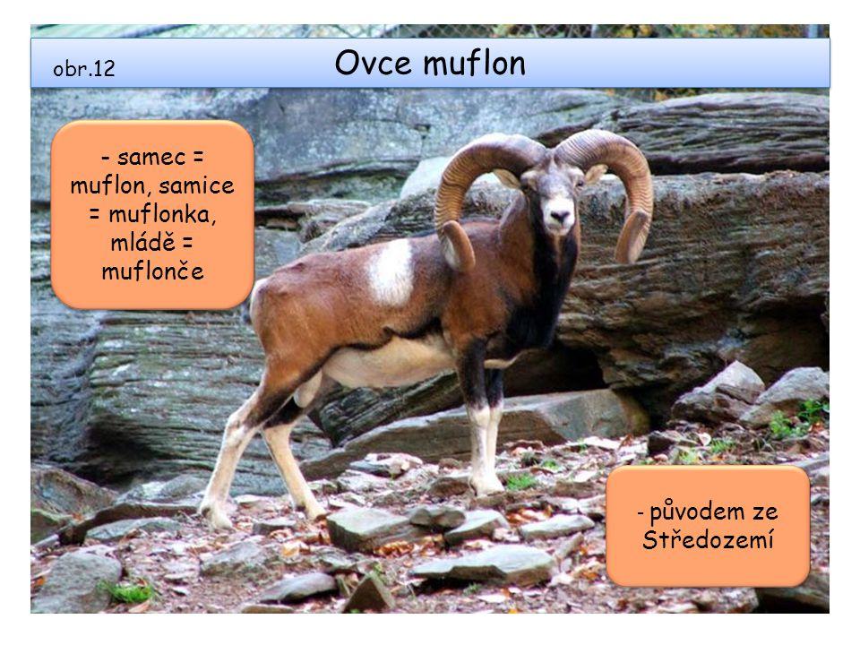 Ovce muflon - samec = muflon, samice = muflonka, mládě = muflonče