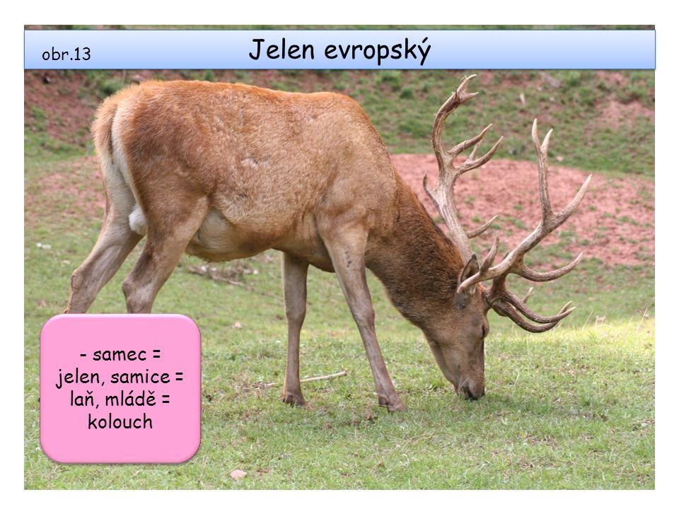 - samec = jelen, samice = laň, mládě = kolouch