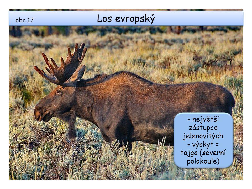 Los evropský - největší zástupce jelenovitých
