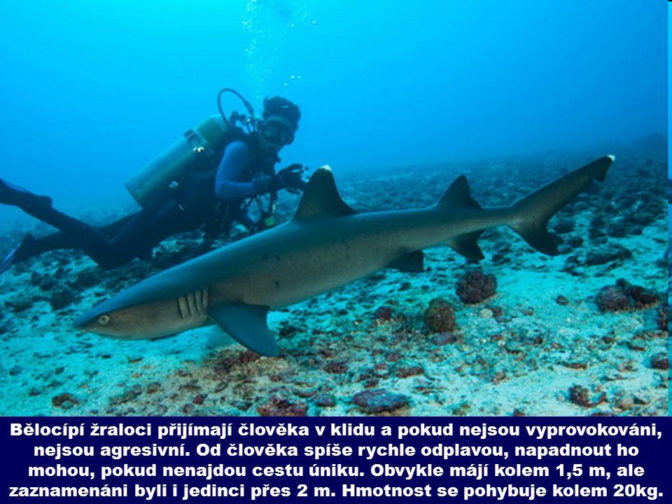 Bělocípí žraloci přijímají člověka v klidu a pokud nejsou vyprovokováni, nejsou agresivní.