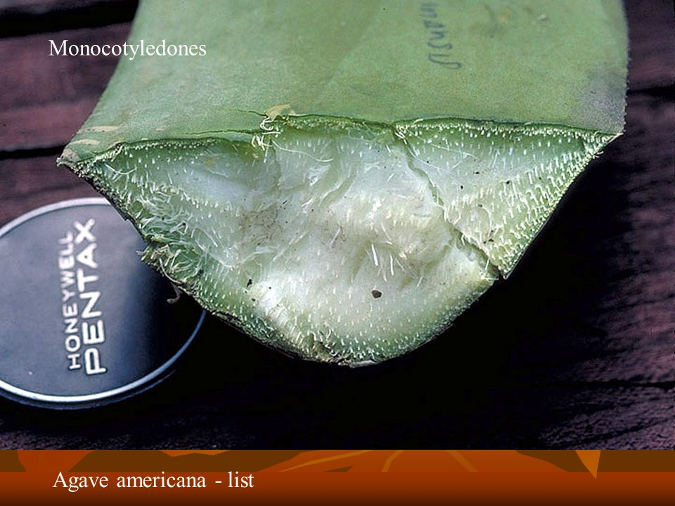 Monocotyledones Agave americana - list