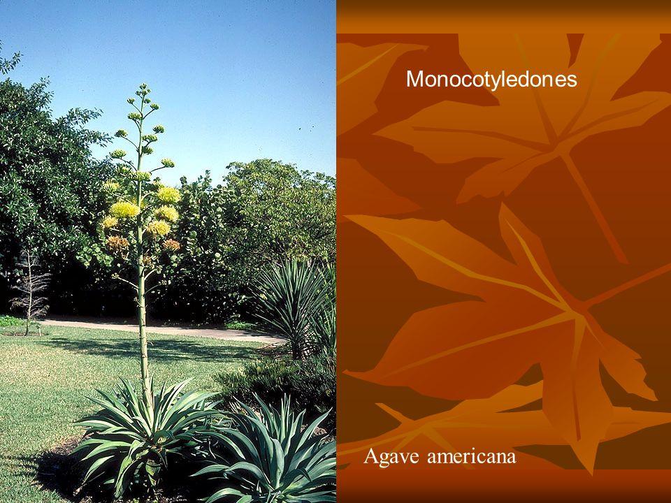Monocotyledones Agave americana