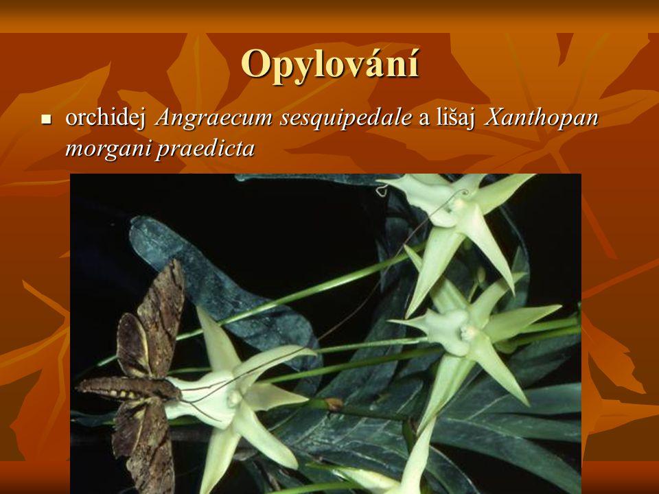 Opylování orchidej Angraecum sesquipedale a lišaj Xanthopan morgani praedicta