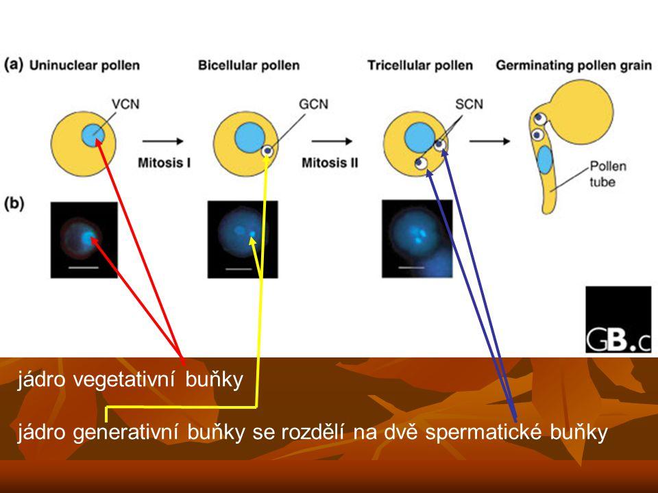 jádro vegetativní buňky