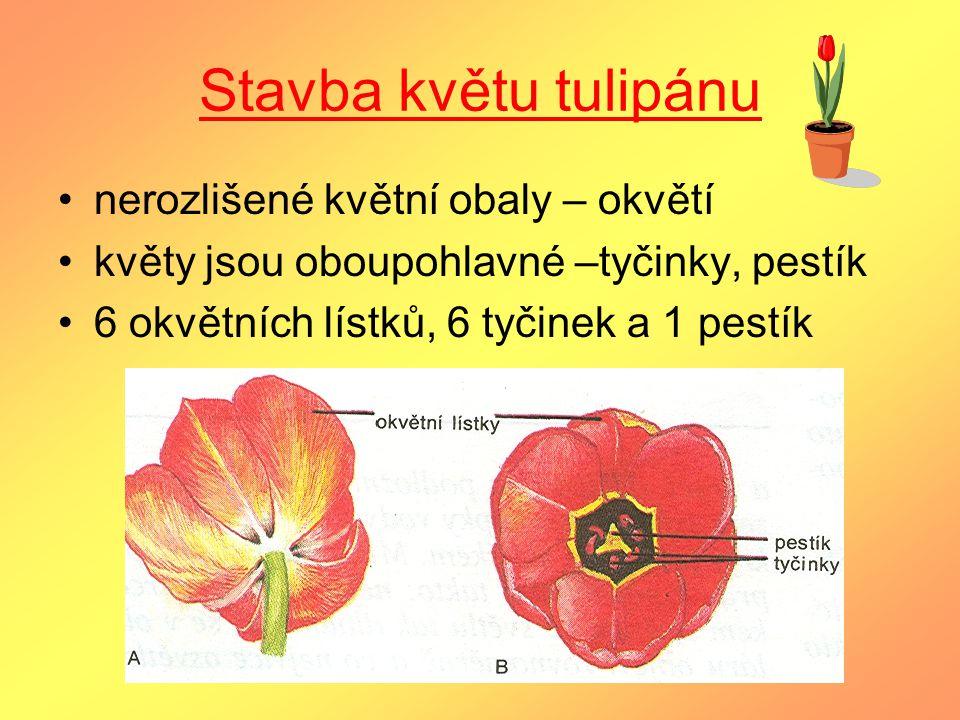 Stavba květu tulipánu nerozlišené květní obaly – okvětí