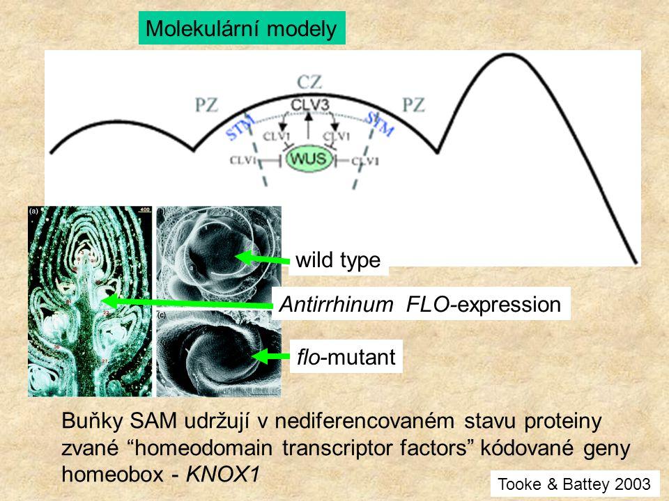 Antirrhinum FLO-expression