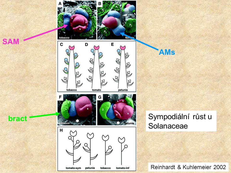 SAM AMs Sympodiální růst u bract Solanaceae