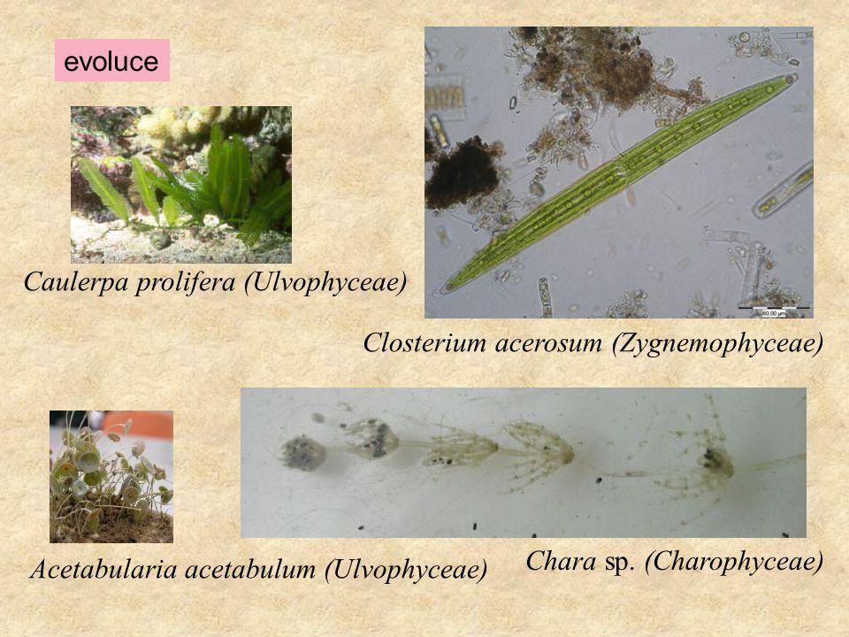 evoluce Caulerpa prolifera (Ulvophyceae) Closterium acerosum (Zygnemophyceae) Chara sp. (Charophyceae)
