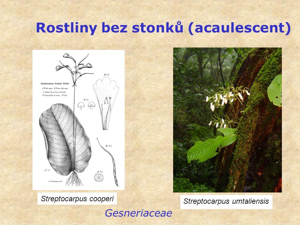 Rostliny bez stonků (acaulescent)