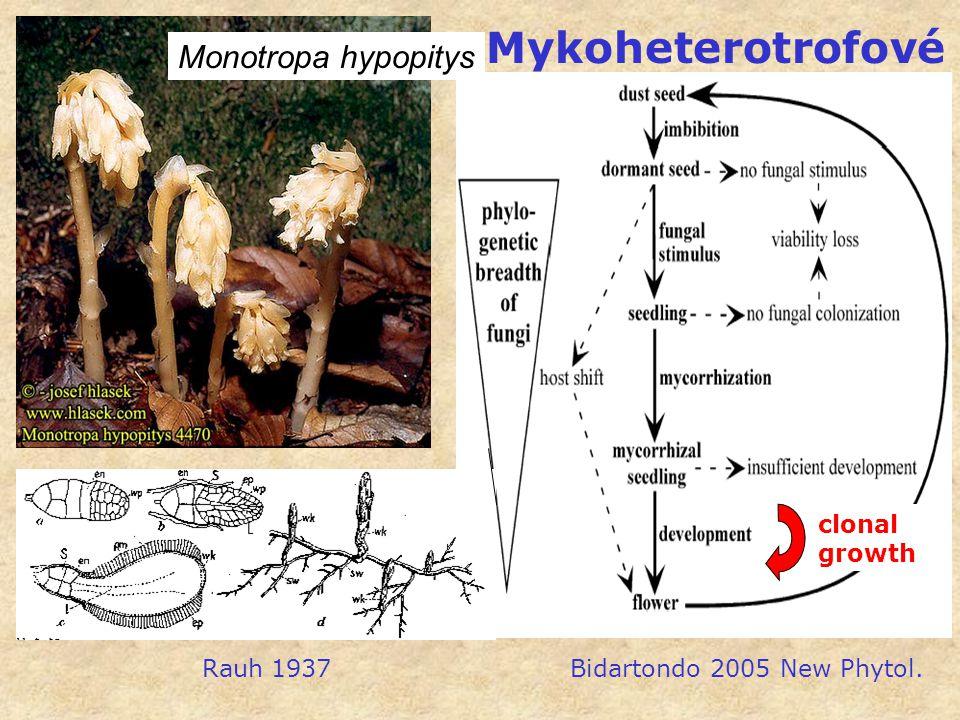 Mykoheterotrofové Monotropa hypopitys clonal growth Rauh 1937