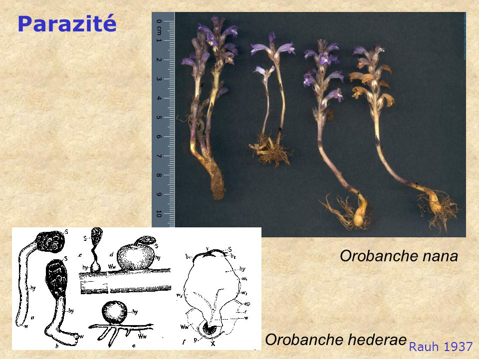 Parazité Orobanche nana Orobanche hederae Rauh 1937
