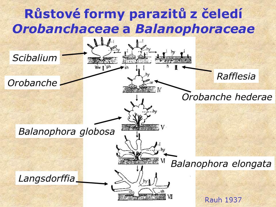Růstové formy parazitů z čeledí Orobanchaceae a Balanophoraceae