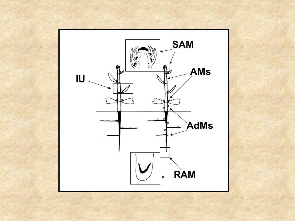 SAM AMs IU AdMs RAM