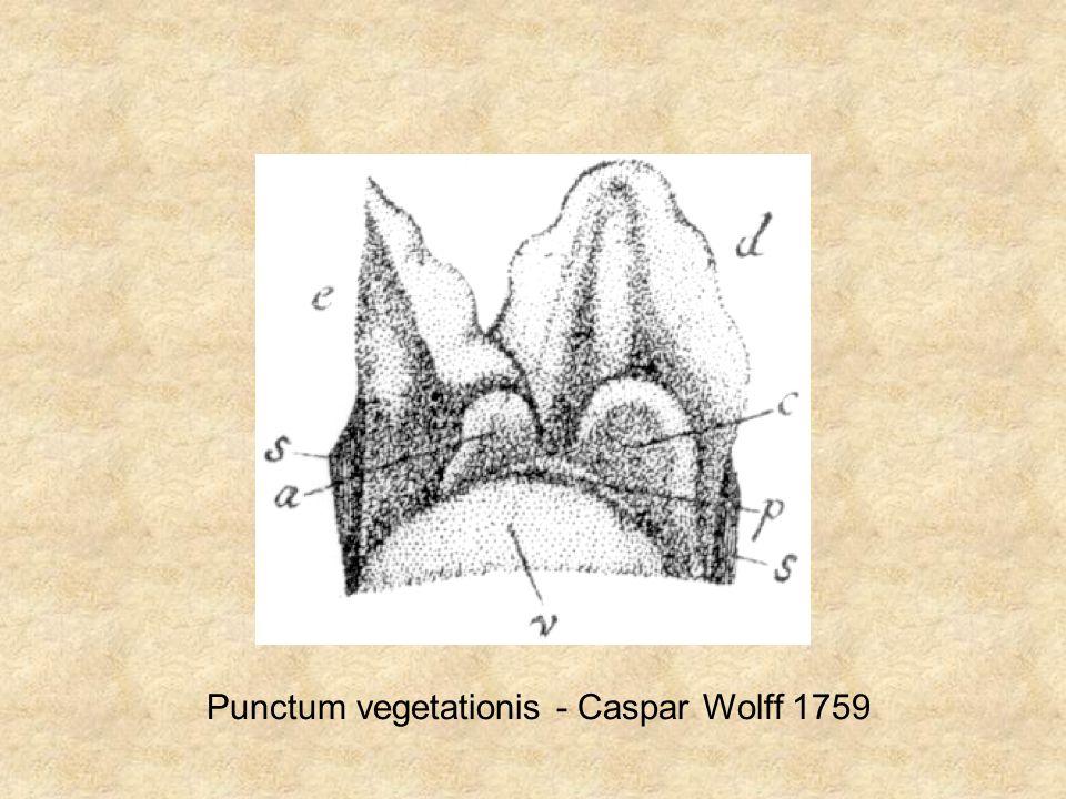 Punctum vegetationis - Caspar Wolff 1759