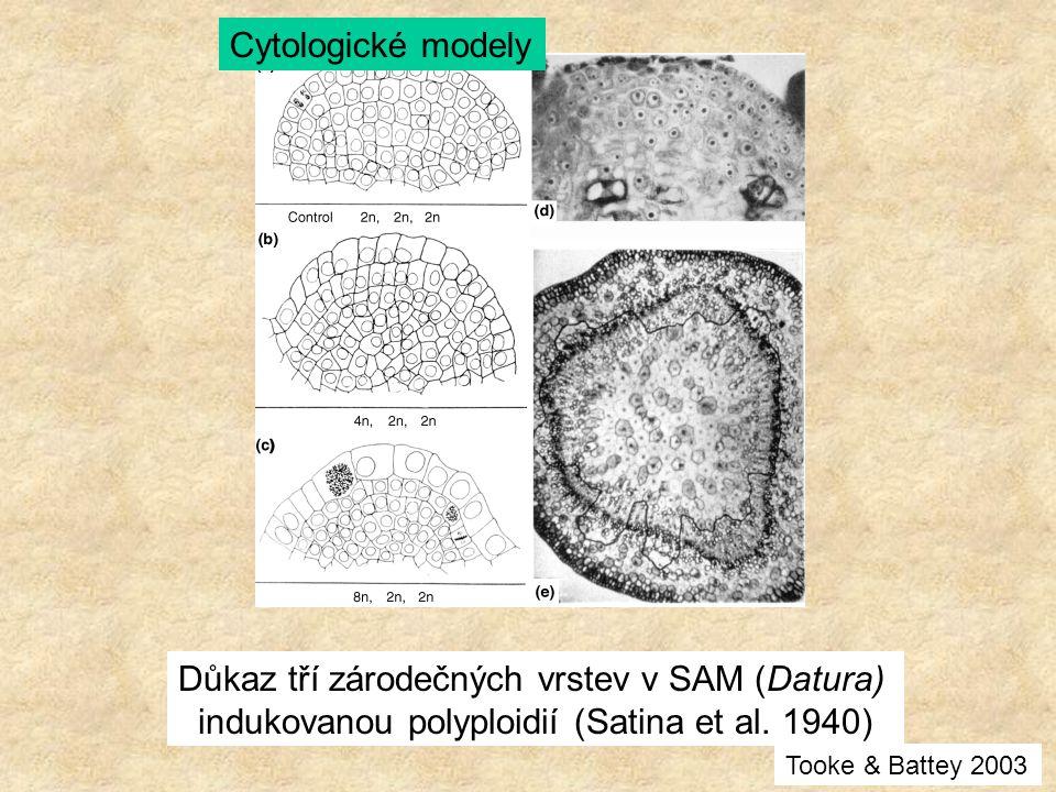 Důkaz tří zárodečných vrstev v SAM (Datura)