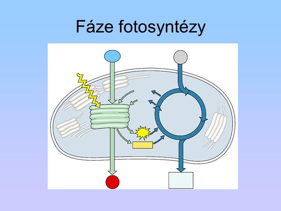 Fáze fotosyntézy