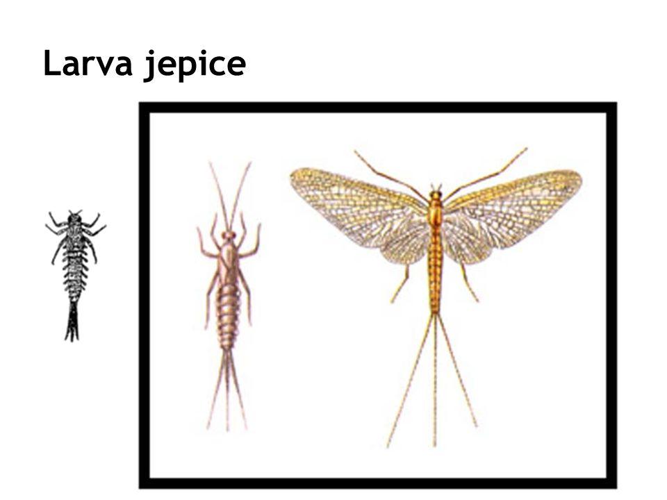 Larva jepice