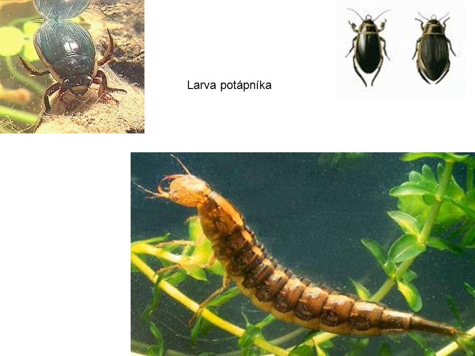 Larva potápníka pijavice