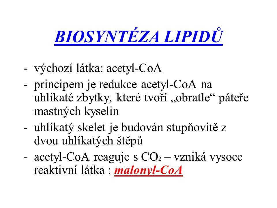 BIOSYNTÉZA LIPIDŮ výchozí látka: acetyl-CoA