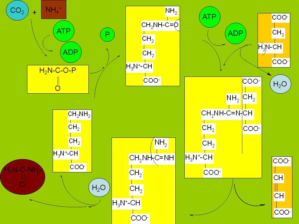 CO2 NH4+ + ATP ATP ADP P ADP H2N-C-O-P O H2O H2N-C-NH2 O H2O