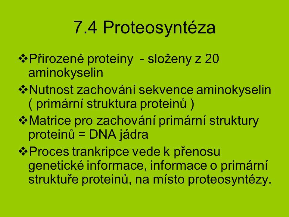 7.4 Proteosyntéza Přirozené proteiny - složeny z 20 aminokyselin