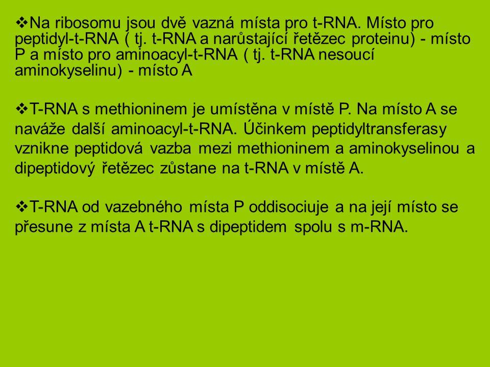 Na ribosomu jsou dvě vazná místa pro t-RNA