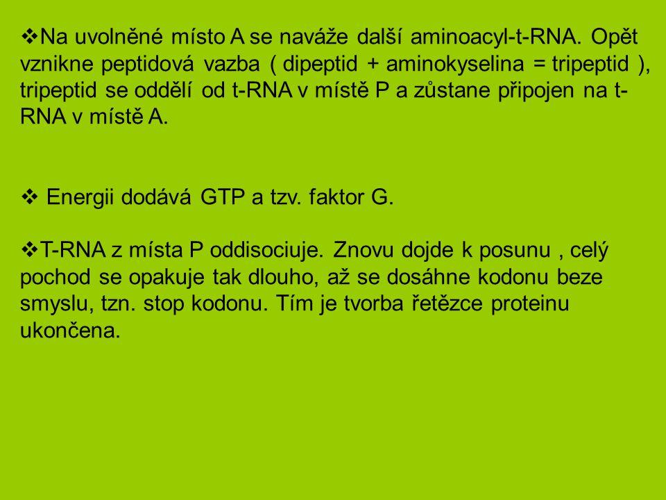 Na uvolněné místo A se naváže další aminoacyl-t-RNA