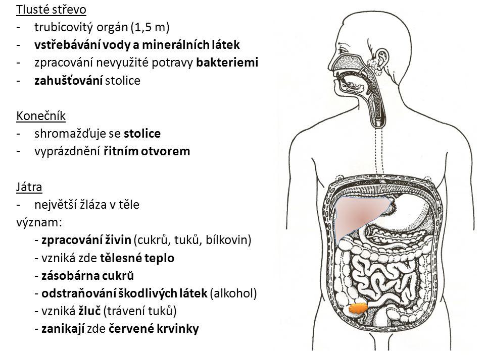 Tlusté střevo trubicovitý orgán (1,5 m) vstřebávání vody a minerálních látek. zpracování nevyužité potravy bakteriemi.