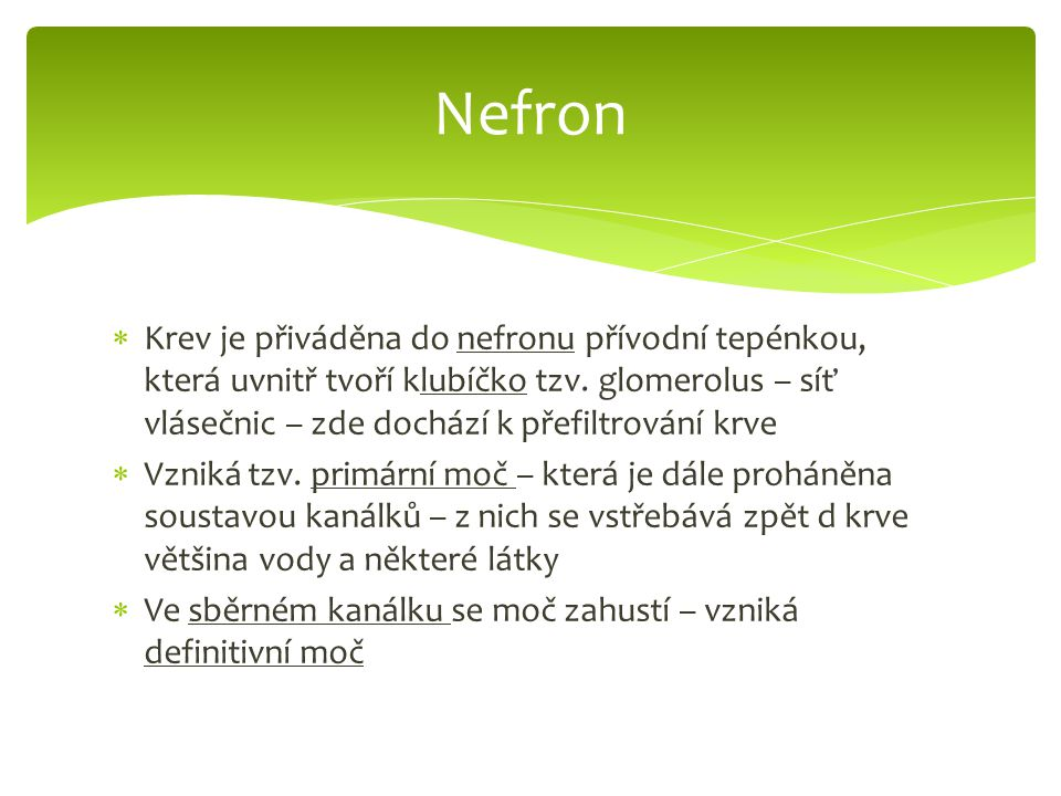 Nefron Krev je přiváděna do nefronu přívodní tepénkou, která uvnitř tvoří klubíčko tzv. glomerolus – síť vlásečnic – zde dochází k přefiltrování krve.