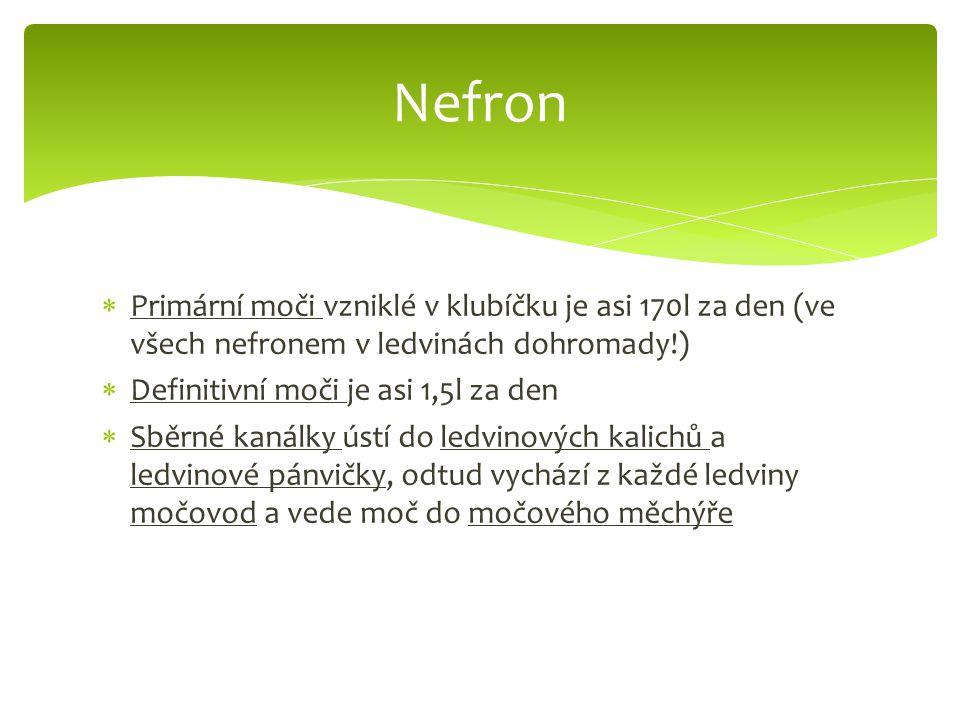 Nefron Primární moči vzniklé v klubíčku je asi 170l za den (ve všech nefronem v ledvinách dohromady!)