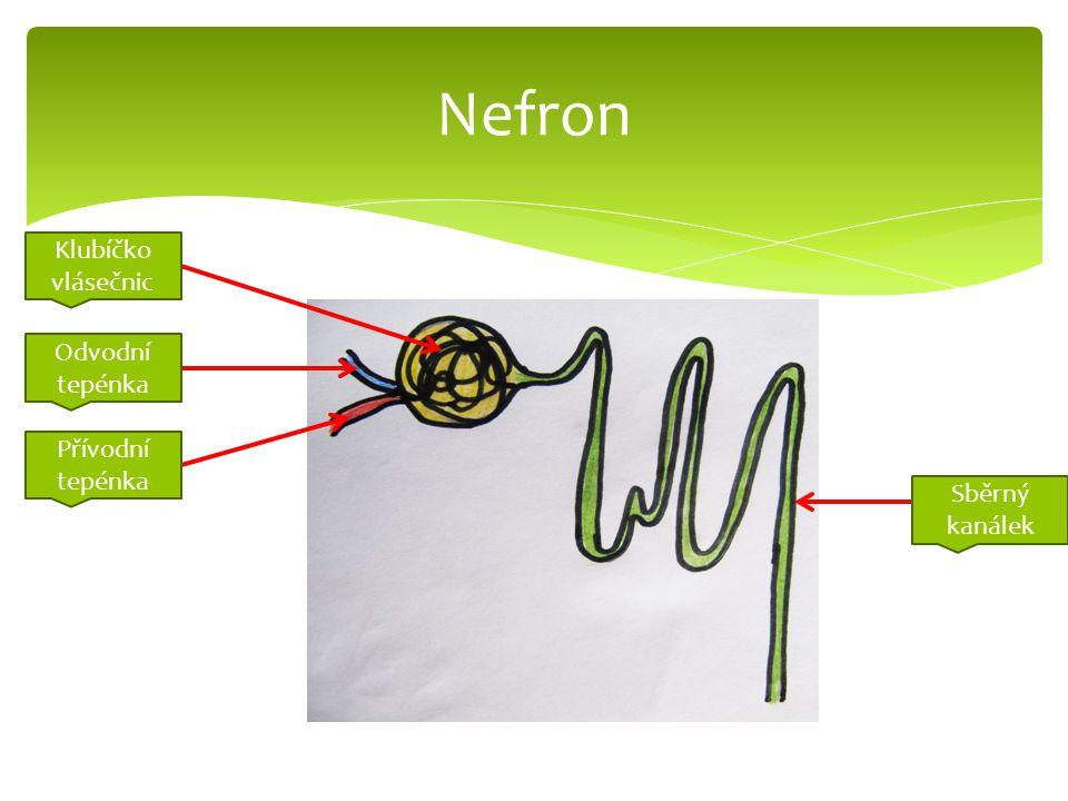 Nefron Klubíčko vlásečnic Odvodní tepénka Přívodní tepénka