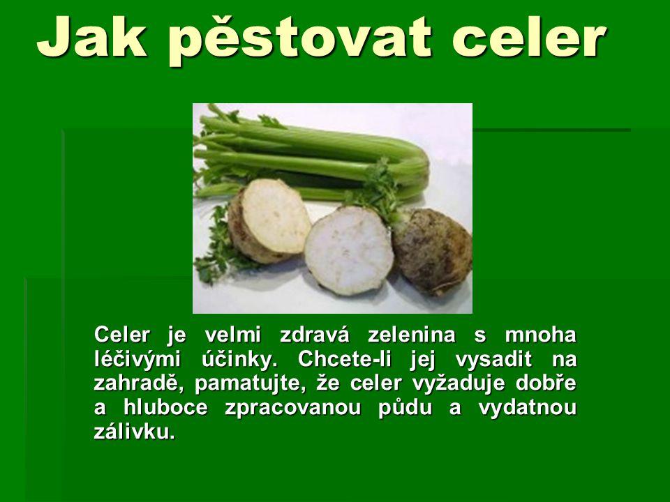 Jak pěstovat celer
