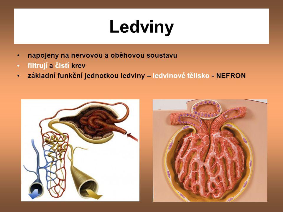 Ledviny napojeny na nervovou a oběhovou soustavu filtrují a čistí krev
