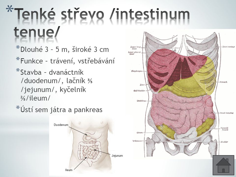 Tenké střevo /intestinum tenue/