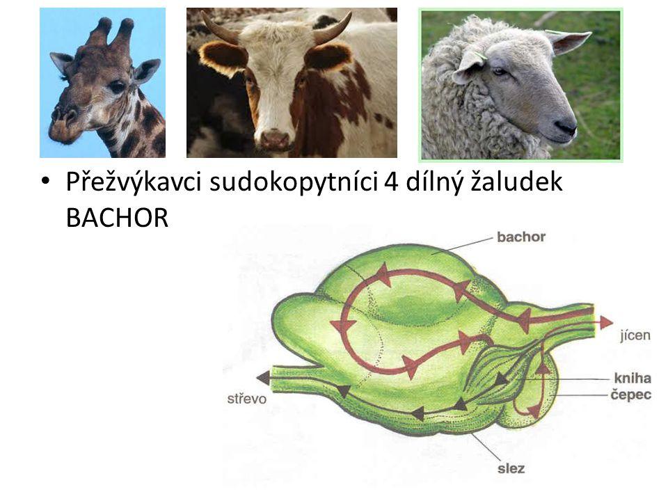 Přežvýkavci sudokopytníci 4 dílný žaludek BACHOR