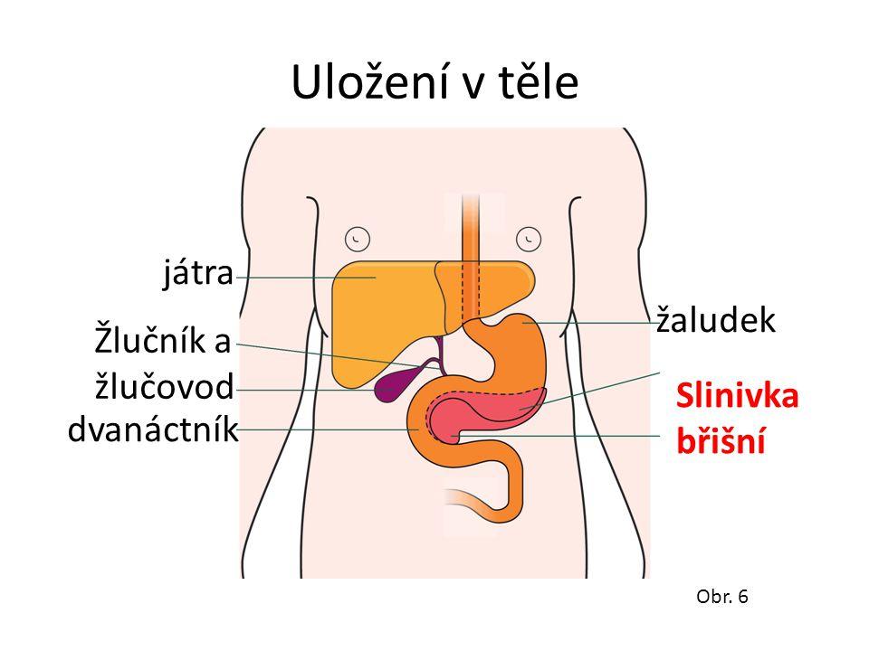 Uložení v těle játra žaludek Žlučník a žlučovod Slinivka břišní